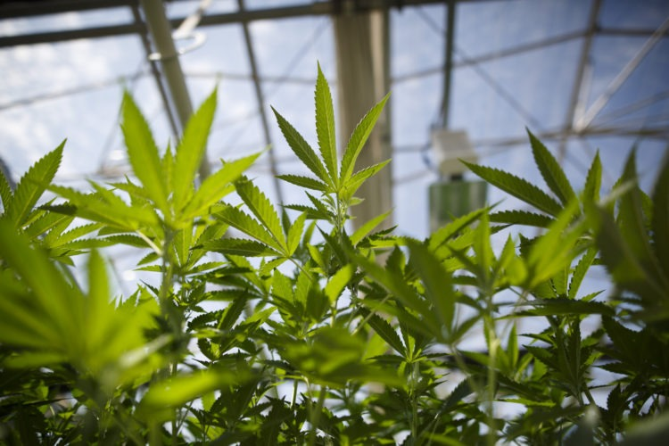 As Cannabis Deadline Looms, 170 Ontario Municipalities Still Have Not Decided on Opting Out of Stores
