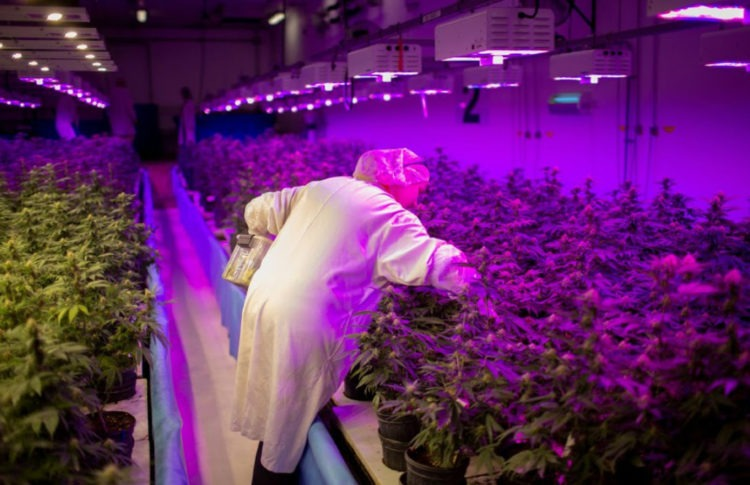 Canadian Cannabis Producers Quadruple Hiring in a Year