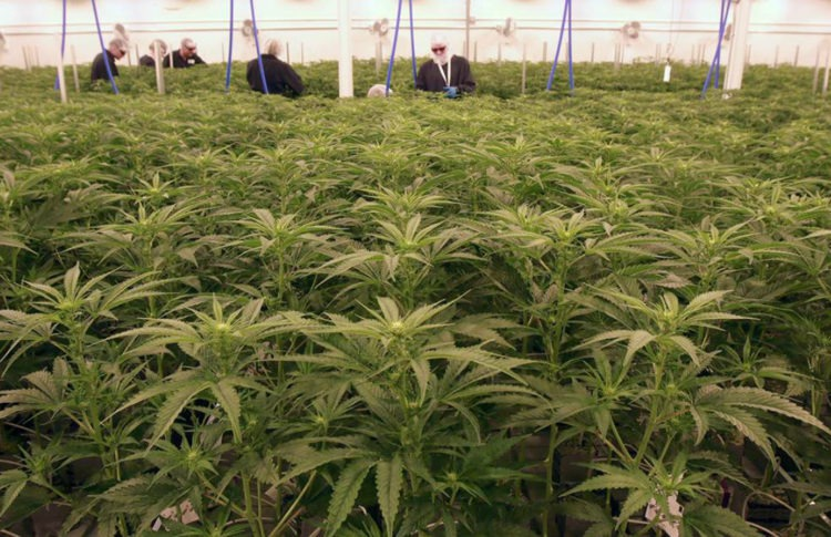 Alberta Cannabis Producer Sundial Targeted in Class Action Suit