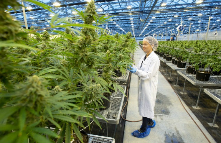 Beamsville Cannabis Operation Closes, 100 Staff Laid Off