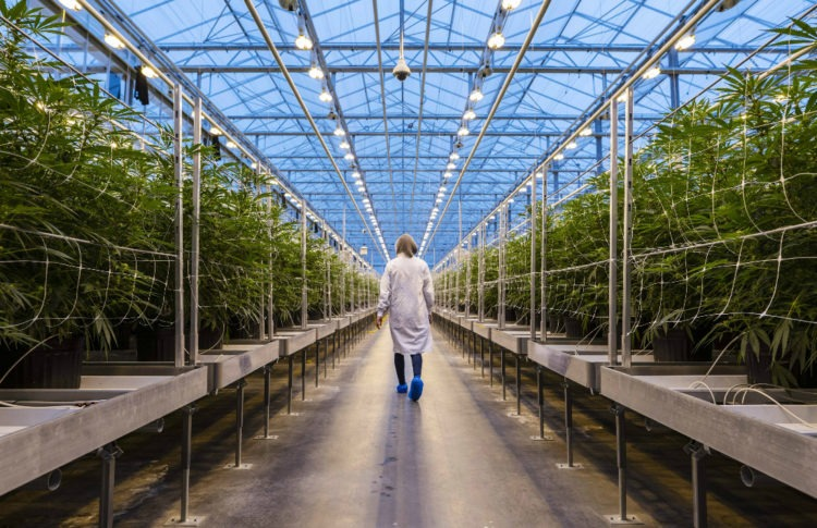 Hexo Admits Cannabis Was Grown in Unlicensed Part of Niagara Facility