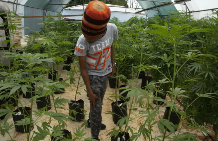 Malawi Legalises Cannabis Amid Hopes of Fresh Economic Growth