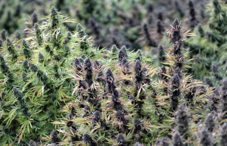 For Cannabis Companies, Coronavirus Threatens to Smoke Cash Flows