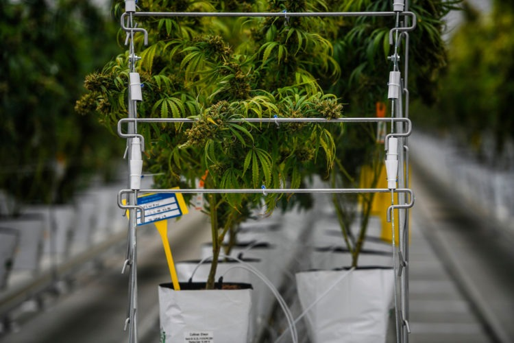 Cannabis Stocks Soar on Hopes Pot Wards Off Coronavirus
