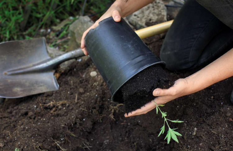 Gardening: Cannabis in 7 steps