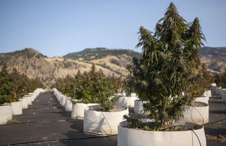 From Cherries To Weed: Canadian Farming Family Harvests 60 Acres Of Cannabis