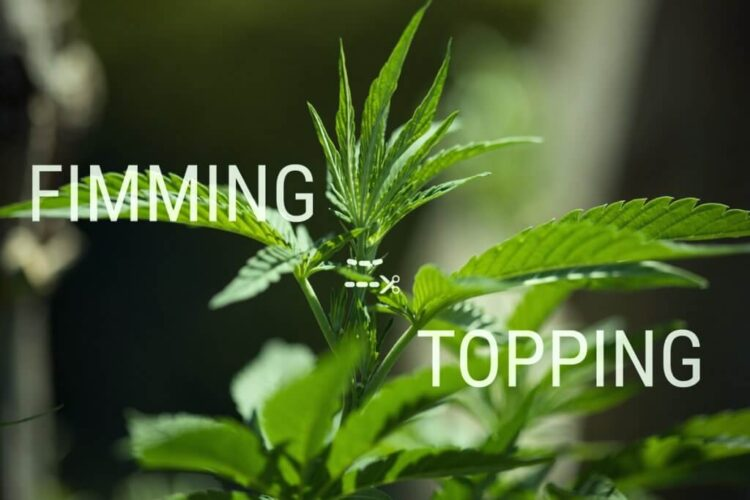 Cannabis Training Techniques: Topping