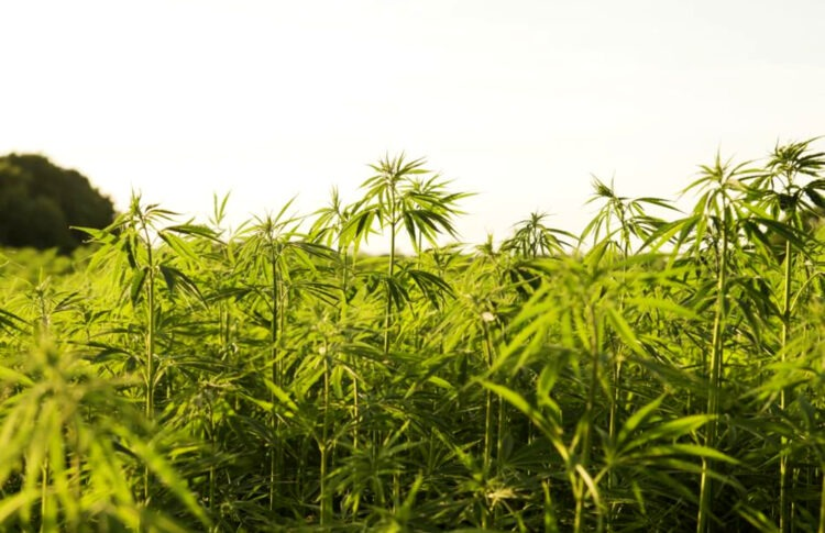 Can Farming Hemp Help Fight Climate Change?