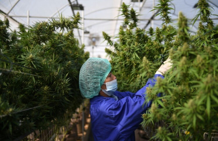 Can Medical Cannabis In Thailand Balance Profits And Patients?
