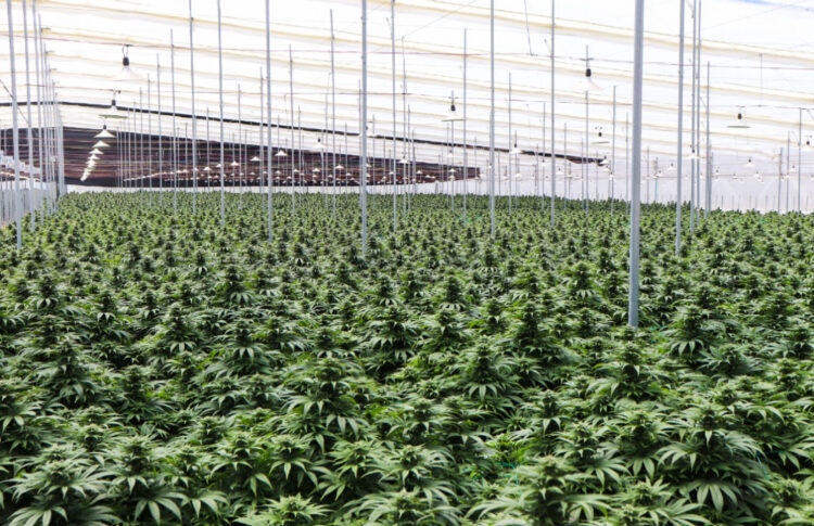 Colombia-Based Clever Leaves To Donate $25 Million Worth Of Cannabis To U.S. Researchers