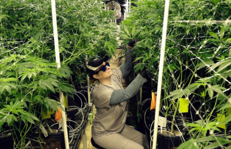 Legal Cannabis Sales Shot Up To $17.5 Billion During The Pandemic As Dispensaries Helped Americans Stock Up On Marijuana